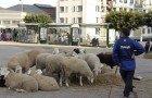 A la veille de la fête de l'Aid-El-Kébir : Vente anarchique des moutons en dépit des arrêtés d'interdiction par les pouvoirs publics