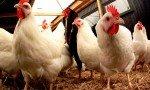 Le prix du kilogramme du poulet a connu ces derniers jours jours une forte augmentation de 200 à 400 DA