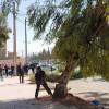 L'abattage sauvage des arbres a commencé ce samedi matin à l'avenue du 8 mai 1945 à Ain Oulmène