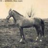 Histoire:Le meilleur et le plus beau cheval dit « Étalon » de tout le département constantinois a été élévé à Colbert