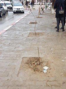 Un autre massacre à la tronçonneuse,la saga continue quant aux arbustes « sans défense » plantés récemment sont la cible des passants